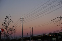 Plenty of Room Left on those Wires (parmo) Tags: tree bird austin texas tx flock grackle pleasantvalley