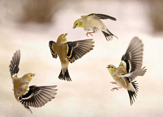 the winter Finch Fest!