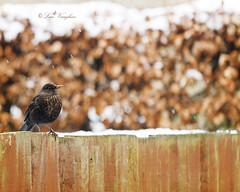 Thrush??.. Lady blackbird ;) (Lolav2010...) Tags: winter snow bird canon garden feeder