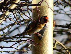 Goldfinch (Rovers number 9) Tags: winter england cold nature birds minolta bokeh wildlife sony goldfinch january lancashire a65 2013 biggardenbirdwatch euxton minoltaaf100200f45 bkhq sonya65 jan2013