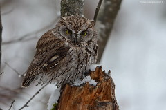 Western Screech-Owl (Megascops kennicottii) (Photography Through Tania's Eyes) Tags: canada tree bird nature animal fauna photography photo bill pom wings flora nikon photographer bc image britishcolumbia okanagan wildlife branches feathers photograph stump owl birdofprey okanaganvalley screechowl peachland westernscreechowl megascopskennicottii copyrightimage hardyfallsregionalpark nikond7000 taniasimpson