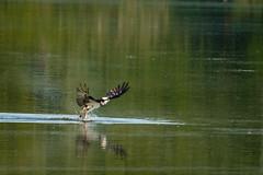Osprey (jwfuqua-photography) Tags: osprey nature birds pennsylvania birdsofprey peacevalleynaturecenter jwfuquaphotography jerrywfuqua buckscounty newbritain