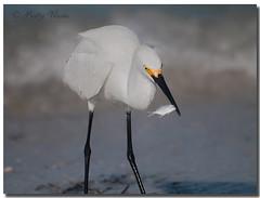 Snowy Egret (Betty Vlasiu) Tags: snowy egret egretta thula bird wildlife nature florida