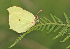 Brimstone (Roger H3) Tags: insect butterfly lepidoptera brimstone