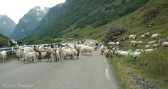 Goats on the road ( Annieta  - back home but need time:)) Tags: annieta juli 2016 sony a6000 holiday vakantie vacances noorwegen norway norvge allrightsreserved usingthispicturewithoutpermissionisillegal aurlandsfjord undredal sognogfjordane geiten goats weg road mountain bergen