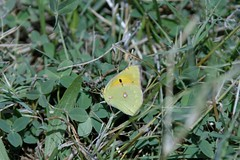 Clouded yellow (SLANEY58) Tags: cloudedyellow butterflies insects turkey gündoğan