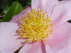 Camellia centre (suey_j) Tags: flower centre flora macro closeup stamens nature