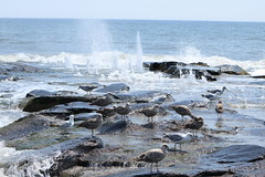 Seagulls on the rocks at Ocean Grove (acereporter73) Tags: beach shore oceangrove