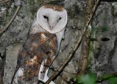 Tyto alba - Common Barn-owl - Effraie des clochers  - 25/06/16 (Philippe_Boissel) Tags: tytoalba commonbarnowl effraiedesclochers chouette hibou captive rapace strigiformes tytonidae birds 0018d
