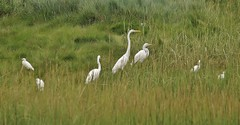 Great & Snowy Egrets, Back Cove Area (Bill Bunn) Tags: greategrets snowyegrets portland maine