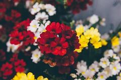 Mum's Garden 6 (katarzynaadamczyk) Tags: flower garden spring vintage canon canon550d sigma sigma1750 colours
