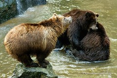 Kamchatka brown bears (My Planet Experience) Tags: kamchatka brown bear ursusarctosberingianus alaskan russia fareast brownbear mammal animal wild wildlife nature conservation biodiversity species endangered myplanetexperience wwwmyplanetexperiencecom