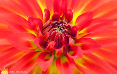 Dahlia-18 (Nualchemist) Tags: flower plant nature simplyflowers petals pink bloom green greenleaves floralphotography dahlia yellow red summer fullbloom botanical bright light floral heavenly macro orange 2016dahiashow colorful white closeup delightful glorious magical soft goldengatepark pretty palepink lightpink enchanting sanfrancisco singleflower cheerful joyful delight california colors palette botanicalgarden organicpattern purple lavender designbynature geometric elementsofdesign silky velvet softlight veil tender flame fire