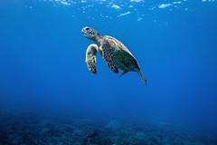 Suspended (Lance Sagar) Tags: green sea turtle water blue ubderwater pacific ocean hawaii big island coral reef nature wildlife apnea freediving sony ikelite rx100 inon breathing floating