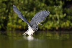 Garza Tricolor (Egretta tricolor) - Tricolored Heron (Dax M. Roman E.) Tags: garzatricolor egrettatricolor tricoloredheron daxromán