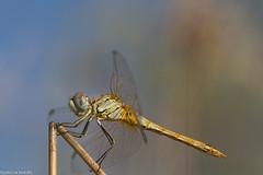 Symptrum de Fonscolombe - Sympetrum fonscolombii (patricia.hoedts) Tags: france arige mazres domainedesoiseaux symptrumdefonscolombe sympetrumfonscolombii libellule dragonfly macro canon canon6d usm canonef10028lmacroisusm