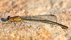 Untitled (Einherjar2k8) Tags: nature macro sigma105 canoneos70d closeup damselfly sideview wings structure insect stone