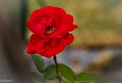 Rose rouge... (Crilion43) Tags: rose france vreaux divers jardin centre canon paysage tamron fleurs cher objectif blanche brouillard herbe jaune nature rouge rflex saumon