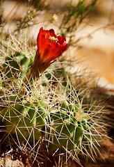 if I'd known you were coming, I'd have got a bouquet (rovingmagpie) Tags: utah cedarmesa campsite claretcups hedgehog cactus ctg2016 summer2016