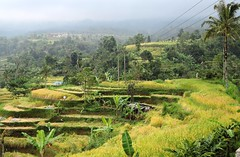 Bali-Rice fields