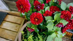 DSC01160 (lucia.nazzaro) Tags: flowers red garden outdoor finland flowerpot green