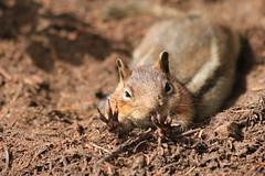 Stretch- Cascade Golden-mantled Ground Squirrel (Zach Hawn) Tags: mountain wildlife wilderness wild outdoors pnw pacificnorthwest washington nationalpark mrnp mora hiking mountrainier mtrainier rainier hike alpine nature