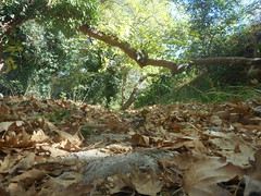 (Psinthos.Net) Tags:  psinthos autumn september     nature sunnyday   day aftertherain afterrain     bluesky sky trees   planetree planetrees     treebranches treetrunk  fallenleaves     leaves path valley psinthosvalley      paved drygrass   greens stones   treetrunks  shadow light sunlight     noon
