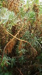 Carso flora (euphorbia wulfenii) (ScotchBroom) Tags: flora carso karst trieste napoleonica napoleonicatrail fvg friuliveneziagiulia euphorbia euphorbiawulfenii euphorbiaceae vegetation mediterraneanvegetation spurge mediterraneanspurge