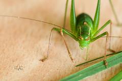 Tettigoniidae (CAr Photographies) Tags: tettigoniidae sauterelle katydids bushcrickets macro insect carphotography carphotographies cdricarenne nikond90 tamron tamron90mmf28