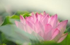 Lotus #5 (daniel0027) Tags: lotusflower nelumbonucifera eastindianlotus  pinklotus summer multipleexposure