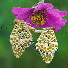 Parapluie pour Papillons (mishko2007) Tags: argyreushyperbius korea indianfritillary 105mmf28