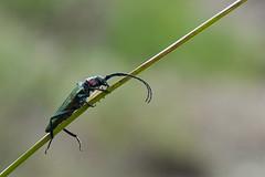 Capricornio verde oloroso (Xuan Moro) Tags: fauna asturias colunga luces animal insecto escarabajo xuanmoro