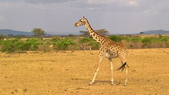 Giraffe (jhderojas) Tags: giraffe kenia masaimara