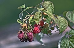 Framboises (laurent KB) Tags: raspberry framboise fruit