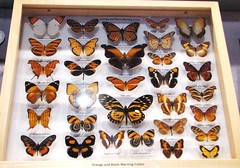 Orange and black warning colors --  Butterfly Collection at University of Florida 9110 (Tangled Bank) Tags: florida museum natural history butterfly butterflies moth collection tray cabinet insect lepidoptera arthropod