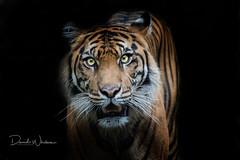 Sumatran tiger (David Whelan Photography) Tags: sumatrantiger tiger