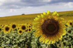 SOTI201608__63R_FLK (Valentin Andres) Tags: campo castillayleon espaa soria spain field girasol sunflower