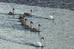 Changing Formation (Hythe Eye) Tags: eling hampshire muteswans swans cygnets creek rivertest