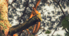 Squirrel (Janek Rivimets) Tags: squirrel orav