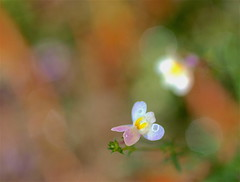 Sharing my personal story - EXPLORE (Kazooze) Tags: flower wildflower bokeh garden outdoor plant fall nature macro sigma105mmmacrolens explore