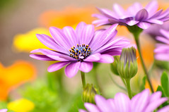 This is summer.... (inge_rd) Tags: plant blossom color summer romantic sommer blumen blte bokeh farben lila purpel