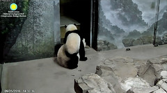 2016_09-25a (gkoo19681) Tags: beibei meixiang pesteringmama climbing playtime ccncby nationalzoo