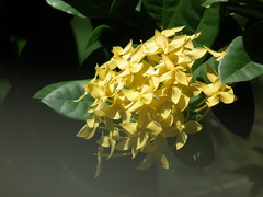 Golden Globe (mmp86) Tags: flowers plants plant flower nature flowerscolors fantasticflower colorphotoaward flowerpicturesnolimits flowerwatcher floraandfaunaoftheworld macroflowerlovers wonderfulworldofflowers mimamorflowers qualitypixels auniverseofflowers awesomeblossoms