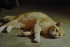 Dignan (observationpost) Tags: orange cat happy tabby dignan flopped