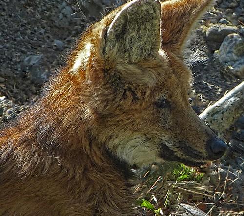bardstown wolf