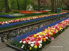 Dutch Tulips, Keukenhof Gardens, Holland - 0774 (HereIsTom) Tags: travel flowers flower holland nature netherlands dutch gardens garden spring europe colours tulips sony cybershot olympus tulip bloom keukenhof tulpen tulp webshots e500 f505