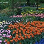 Dutch Tulips, Keukenhof Gardend, Holland - 0786 thumbnail