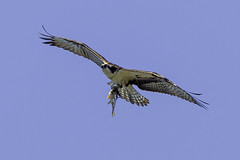 Osprey & fish,. (John Mac Giolla Phdraig Leisen) Tags: pictures life new york wild usa fish news bird love nature birds john jack island fly dc long peace pics hawk conservation prey laurie fowl devlin foul hawks fitzpatrick migrating washinton sigel migrate a leisen mcnaulty jackleisen whatsupcom jackleisengmailcom mcnolte