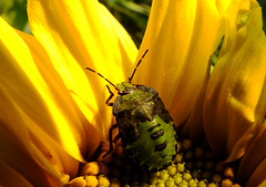 Yellow and Green  Explore !!! 13th October 2012 (Vide Cor Meum Images) Tags: macro yellow bug insect fuji beetle northamptonshire bugs explore sunflower fujifilm shield northants hs20 oundle markcoleman explored myfuji hs20exr mac010665yahoocouk