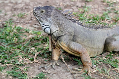 My favorite wildlife - Green Iguana (RURO photography) Tags: voyage flores tourism indonesia fun photography asia asahi photos reis tourist asie lonelyplanet indonesi indonesien komodo nationalgeographic reizen discoverychannel azi varanidae varaan supershot kartpostal varanuskomodoensis enstantane anawesomeshot komodovaraan voyageursdumonde journalistchronicles globalbackpackers discoveryphoto discoveryexpeditions varanen inspiredelite rudiroels tamannasionalkomodo komodovaranen indunisia indonesies